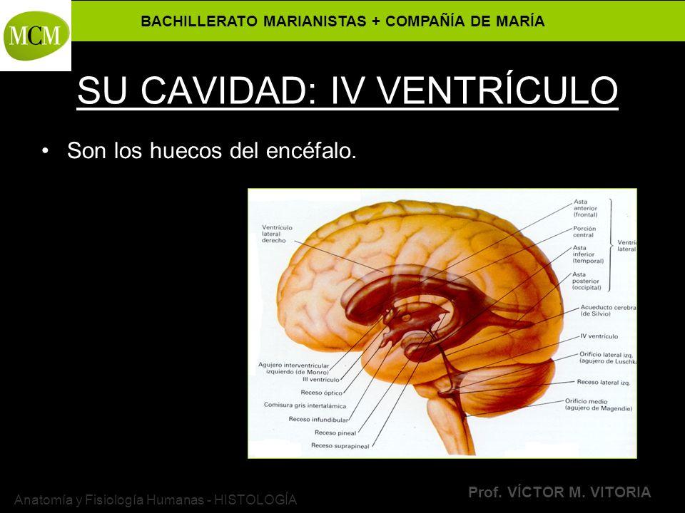 SU CAVIDAD: IV VENTRÍCULO