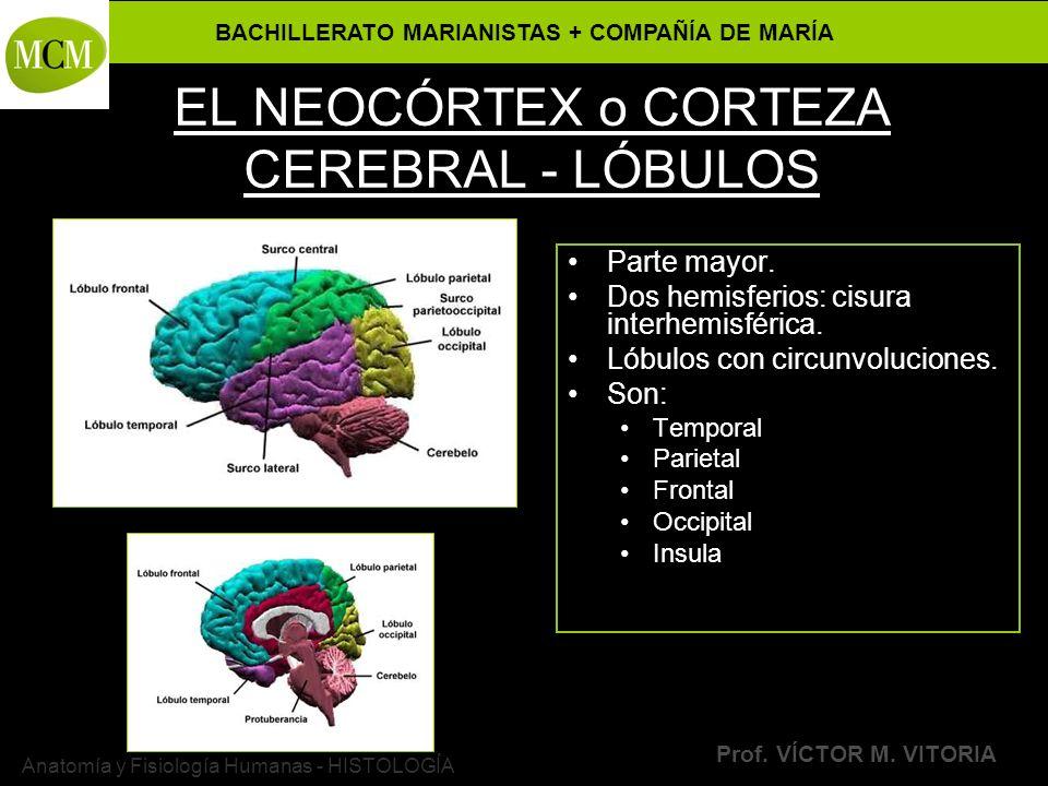 EL NEOCÓRTEX o CORTEZA CEREBRAL - LÓBULOS