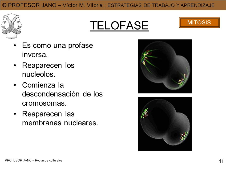 TELOFASE Es como una profase inversa. Reaparecen los nucleolos.