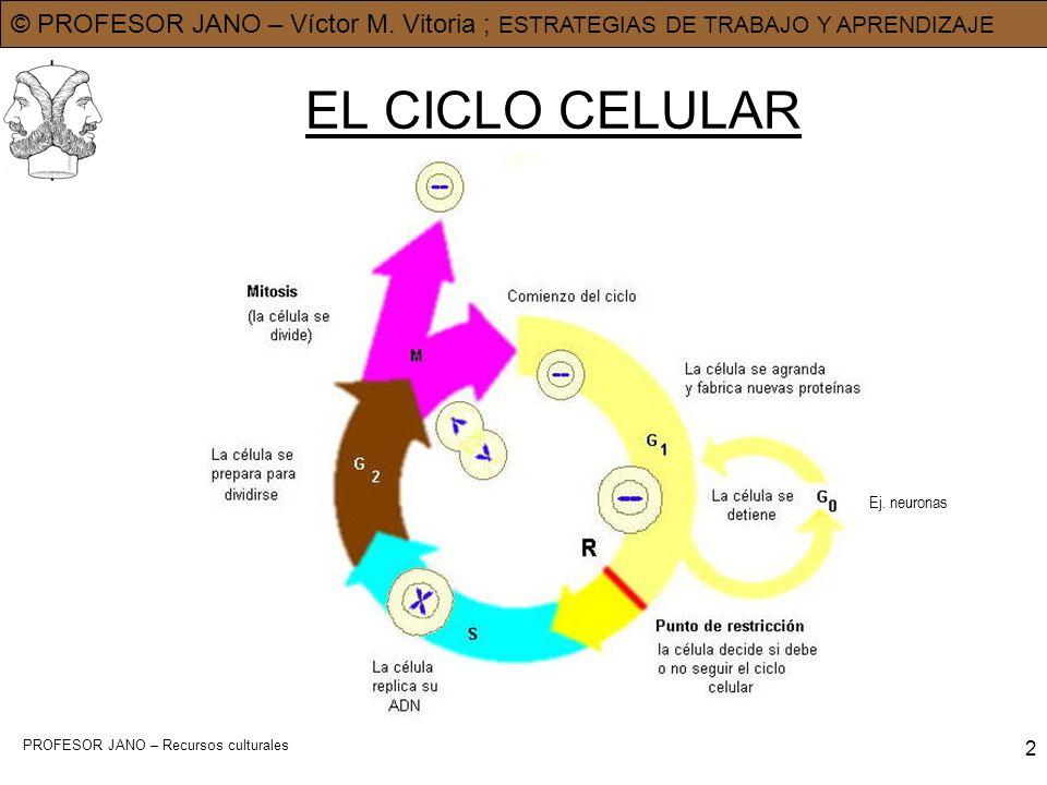 EL CICLO CELULAR Ej. neuronas PROFESOR JANO – Recursos culturales