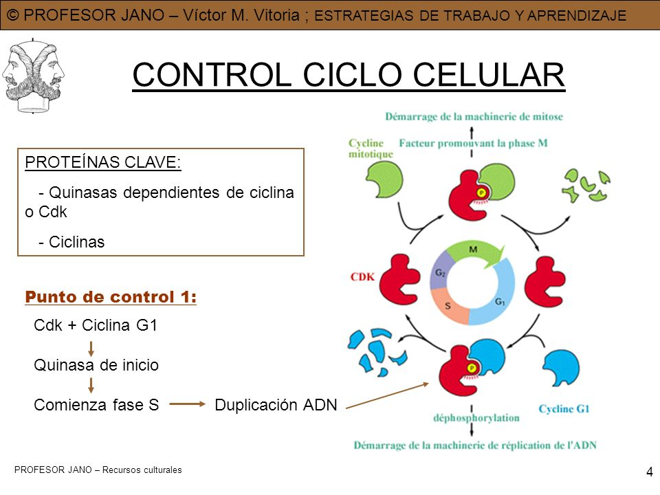 CONTROL CICLO CELULAR PROTEÍNAS CLAVE: