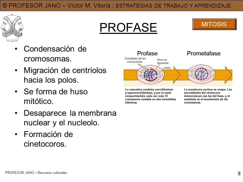 PROFASE Condensación de cromosomas.