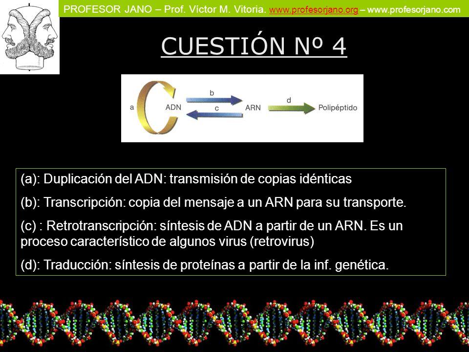 CUESTIÓN Nº 4 (a): Duplicación del ADN: transmisión de copias idénticas. (b): Transcripción: copia del mensaje a un ARN para su transporte.