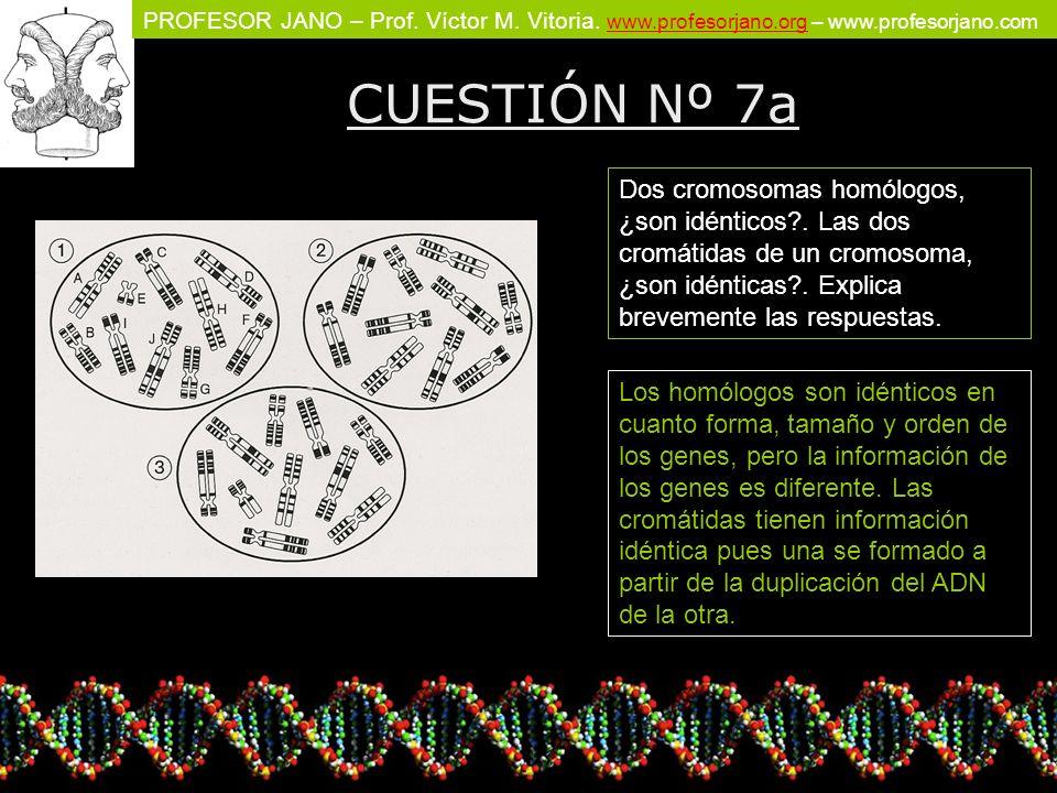 CUESTIÓN Nº 7a Dos cromosomas homólogos, ¿son idénticos . Las dos cromátidas de un cromosoma, ¿son idénticas . Explica brevemente las respuestas.