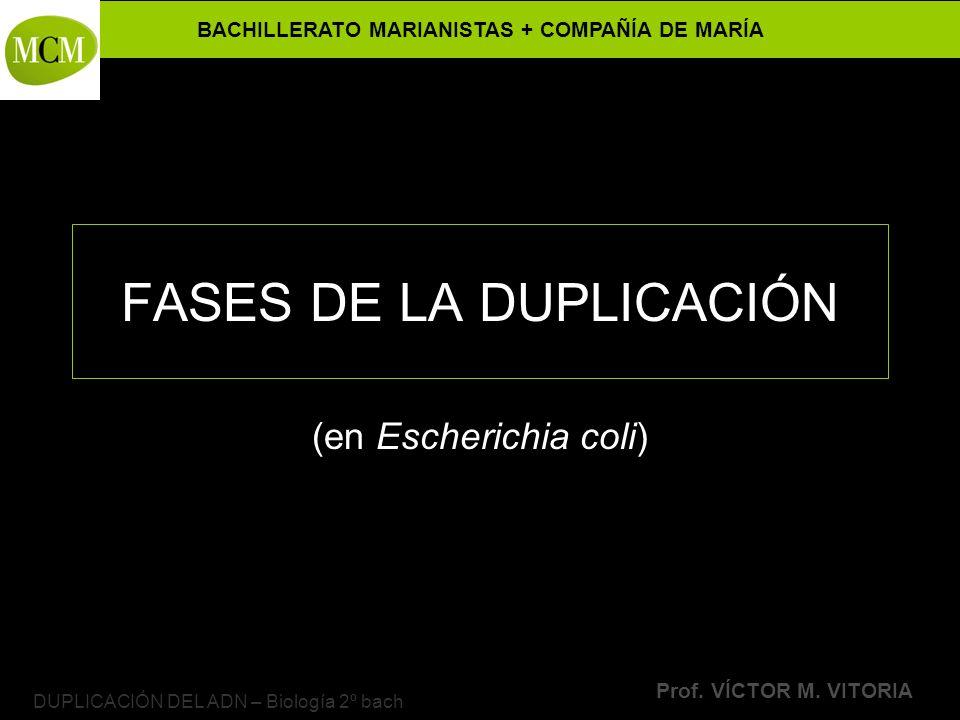 FASES DE LA DUPLICACIÓN