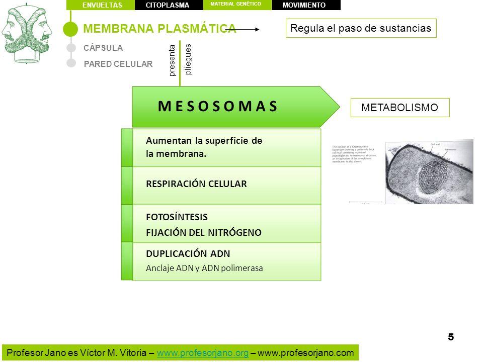 M E S O S O M A S MEMBRANA PLASMÁTICA Regula el paso de sustancias