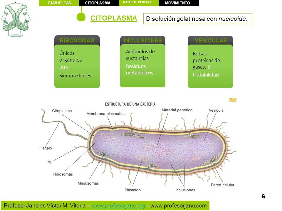 CITOPLASMA Disolución gelatinosa con nucleoide. RIBOSOMAS INCLUSIONES