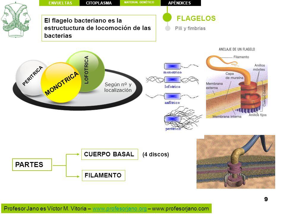 ENVUELTAS CITOPLASMA. MATERIAL GENÉTICO. APÉNDICES. FLAGELOS. El flagelo bacteriano es la estructuctura de locomoción de las bacterias.