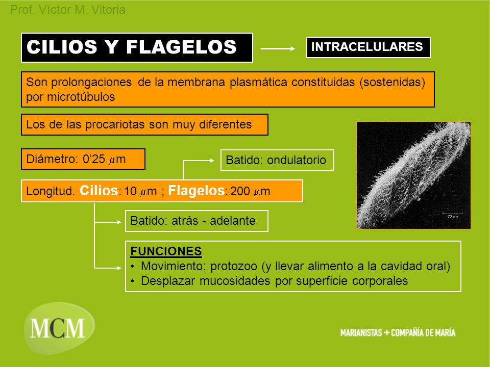 CILIOS Y FLAGELOS INTRACELULARES