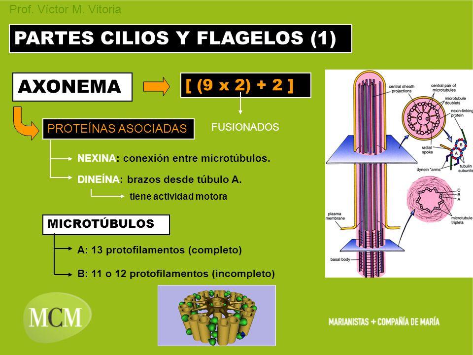 PARTES CILIOS Y FLAGELOS (1)
