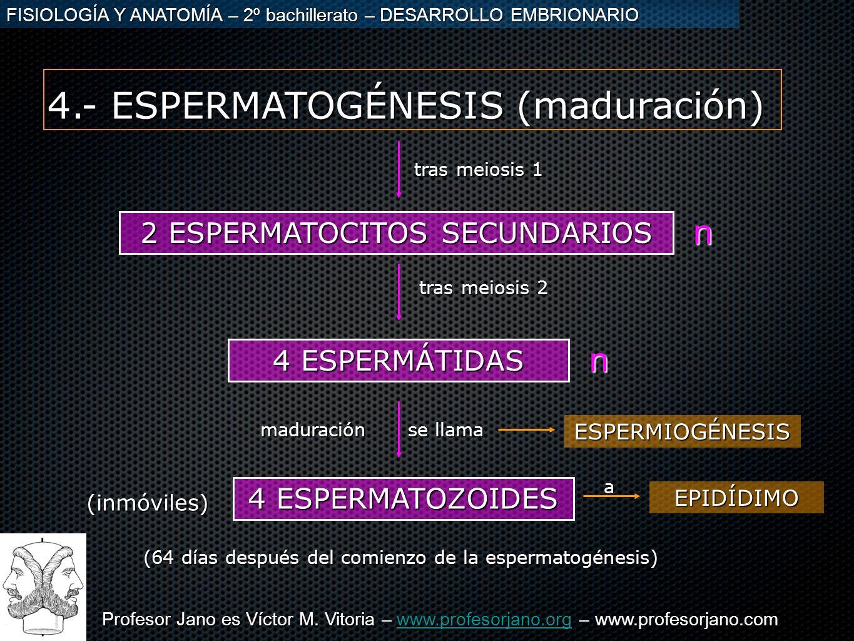 4.- ESPERMATOGÉNESIS (maduración)