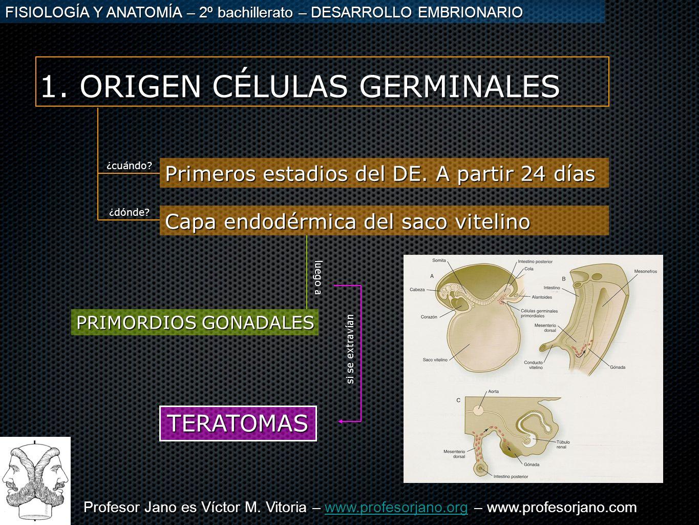 1. ORIGEN CÉLULAS GERMINALES