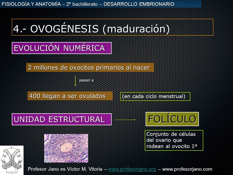 4.- OVOGÉNESIS (maduración)