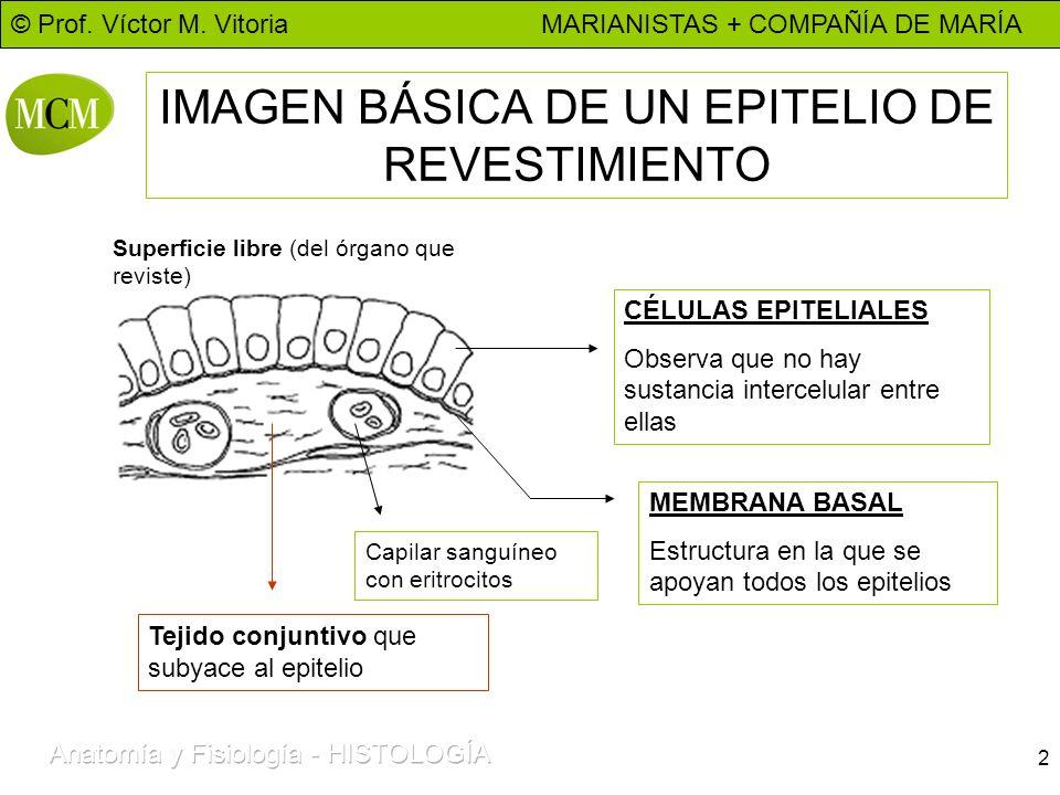 IMAGEN BÁSICA DE UN EPITELIO DE REVESTIMIENTO