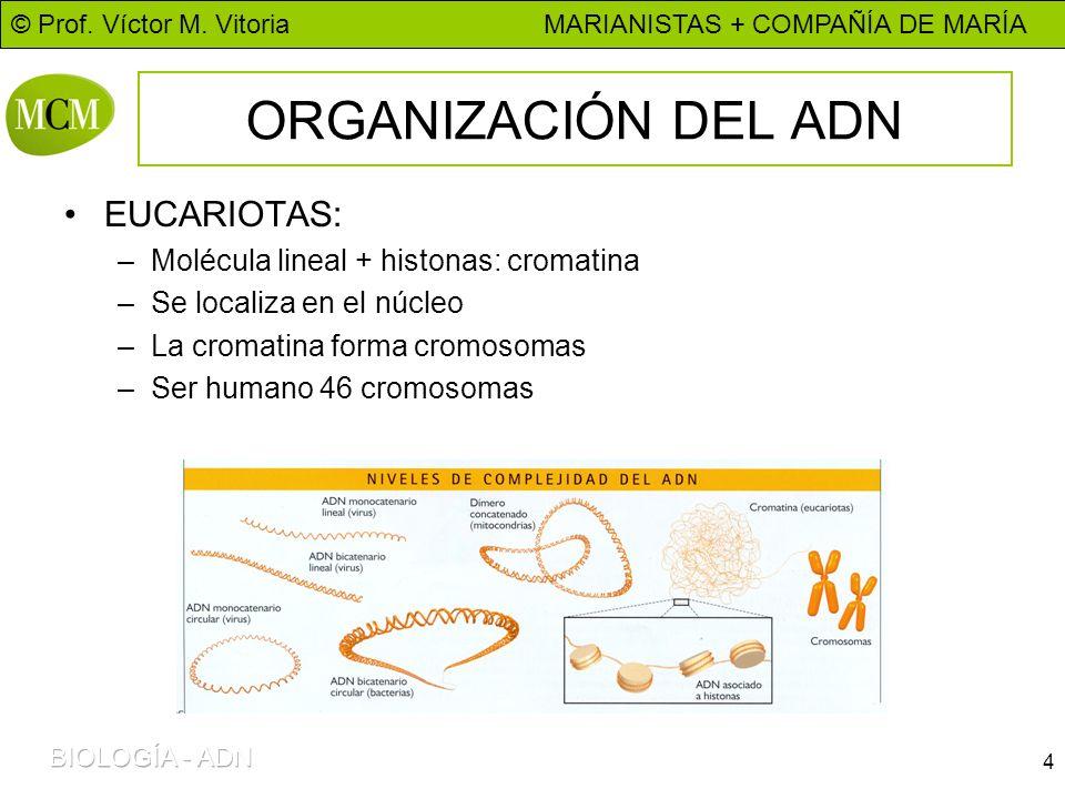ORGANIZACIÓN DEL ADN EUCARIOTAS: Molécula lineal + histonas: cromatina