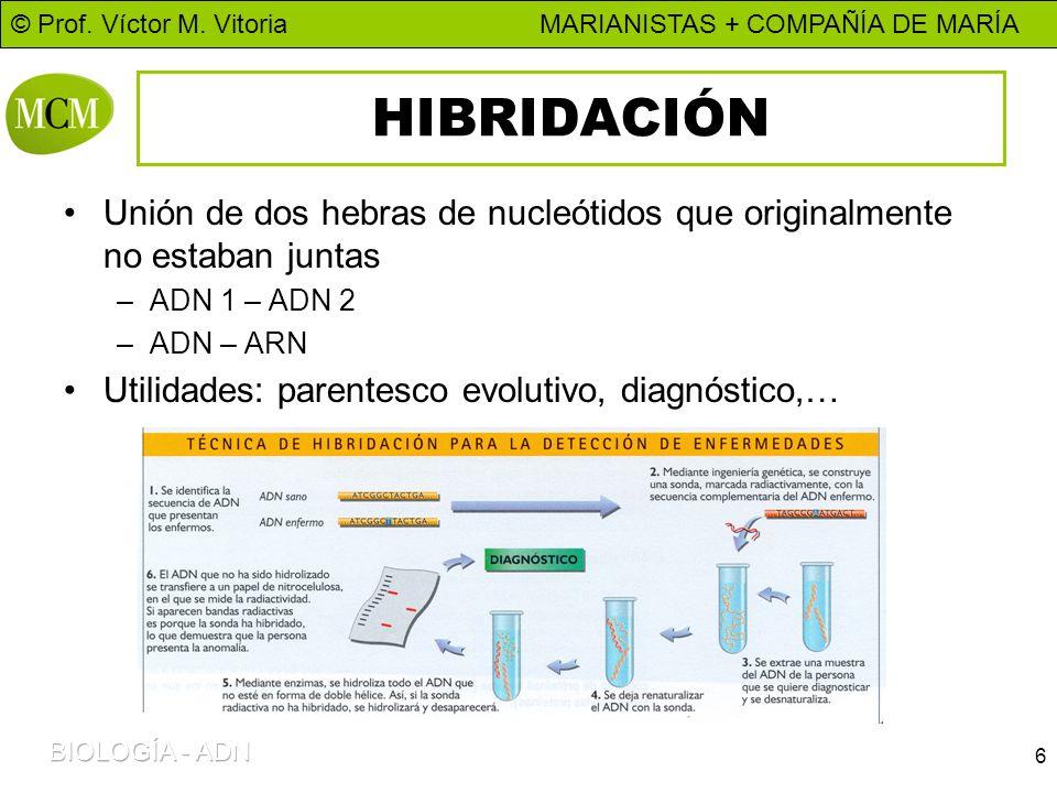 HIBRIDACIÓN Unión de dos hebras de nucleótidos que originalmente no estaban juntas. ADN 1 – ADN 2.