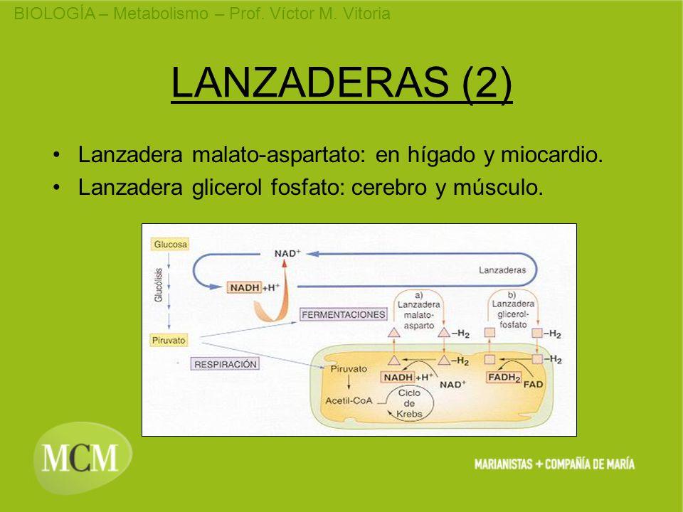 LANZADERAS (2) Lanzadera malato-aspartato: en hígado y miocardio.