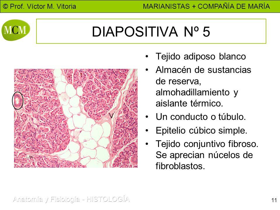 DIAPOSITIVA Nº 5 Tejido adiposo blanco