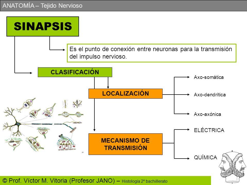 SINAPSIS Es el punto de conexión entre neuronas para la transmisión