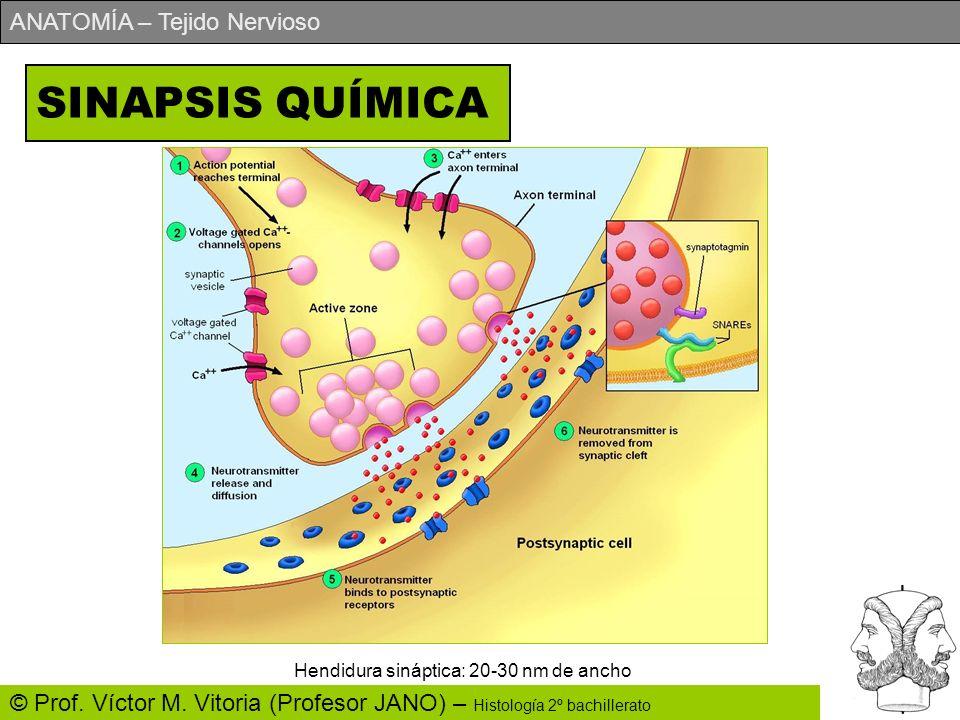SINAPSIS QUÍMICA Hendidura sináptica: 20-30 nm de ancho