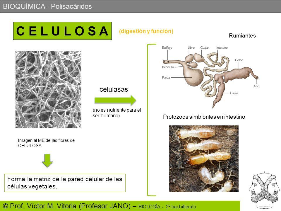 C E L U L O S A(digestión y función) Rumiantes. celulasas. (no es nutriente para el ser humano) Protozoos simbiontes en intestino.