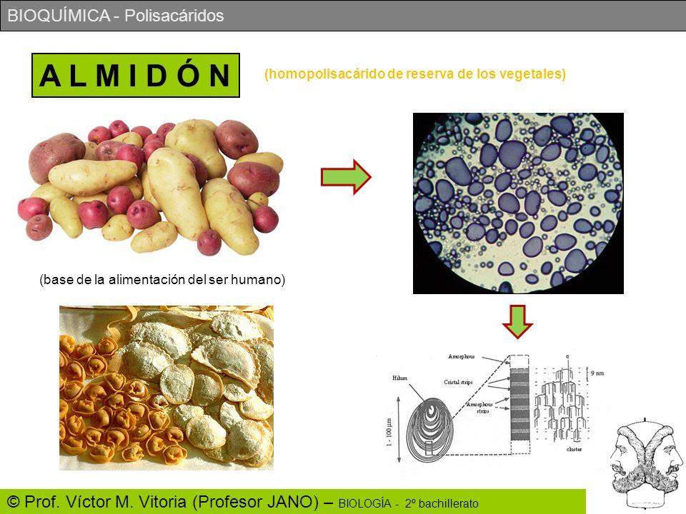 A L M I D Ó N (homopolisacárido de reserva de los vegetales)