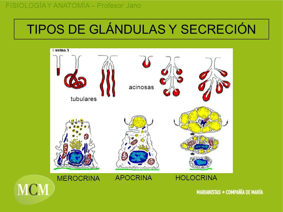 TIPOS DE GLÁNDULAS Y SECRECIÓN