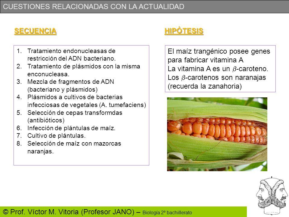 El maíz trangénico posee genes para fabricar vitamina A