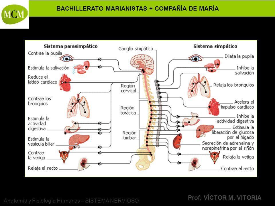 Anatomía y Fisiología Humanas – SISTEMA NERVIOSO