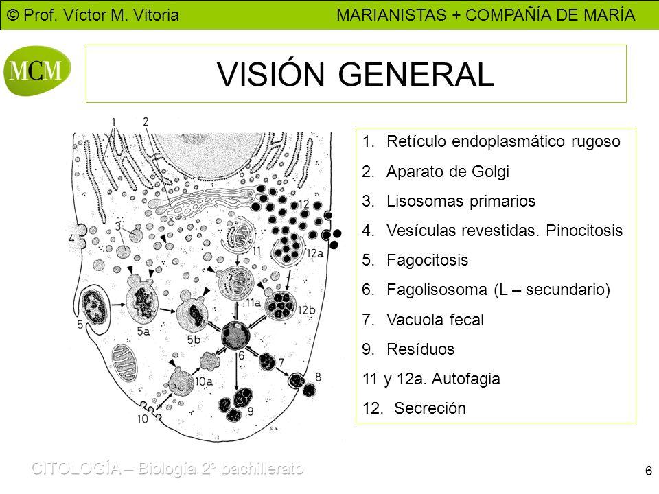 VISIÓN GENERAL Retículo endoplasmático rugoso Aparato de Golgi
