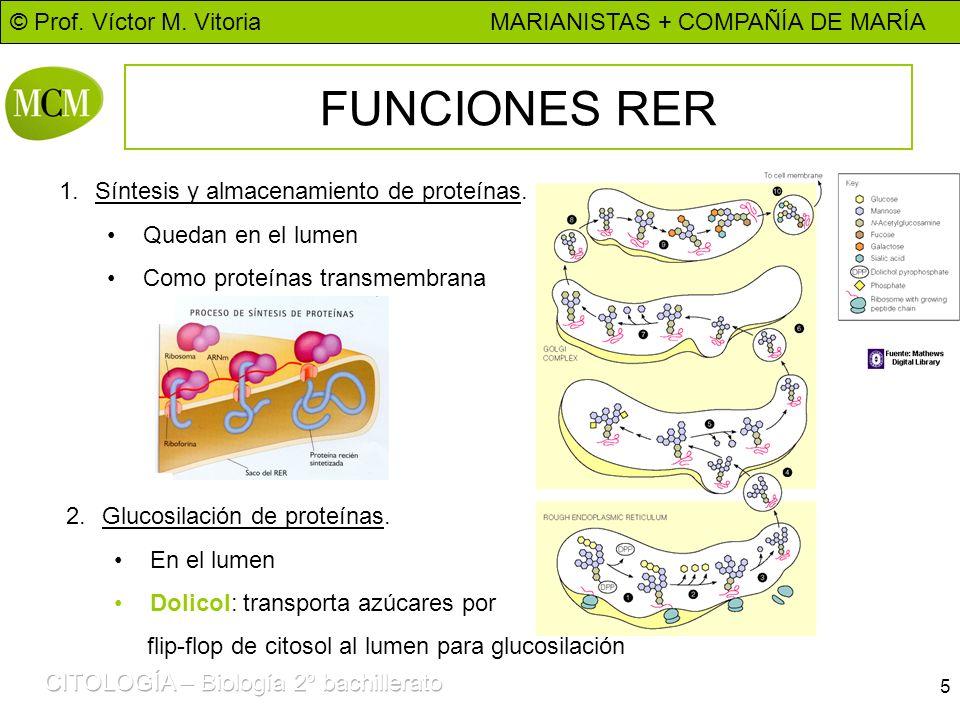 FUNCIONES RER Síntesis y almacenamiento de proteínas.