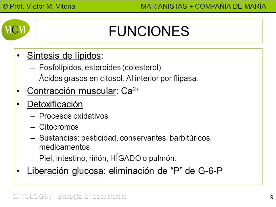 FUNCIONES Síntesis de lípidos: Contracción muscular: Ca2+