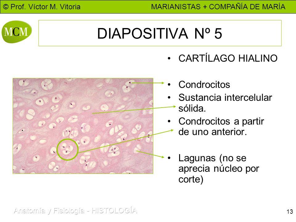 DIAPOSITIVA Nº 5 CARTÍLAGO HIALINO Condrocitos