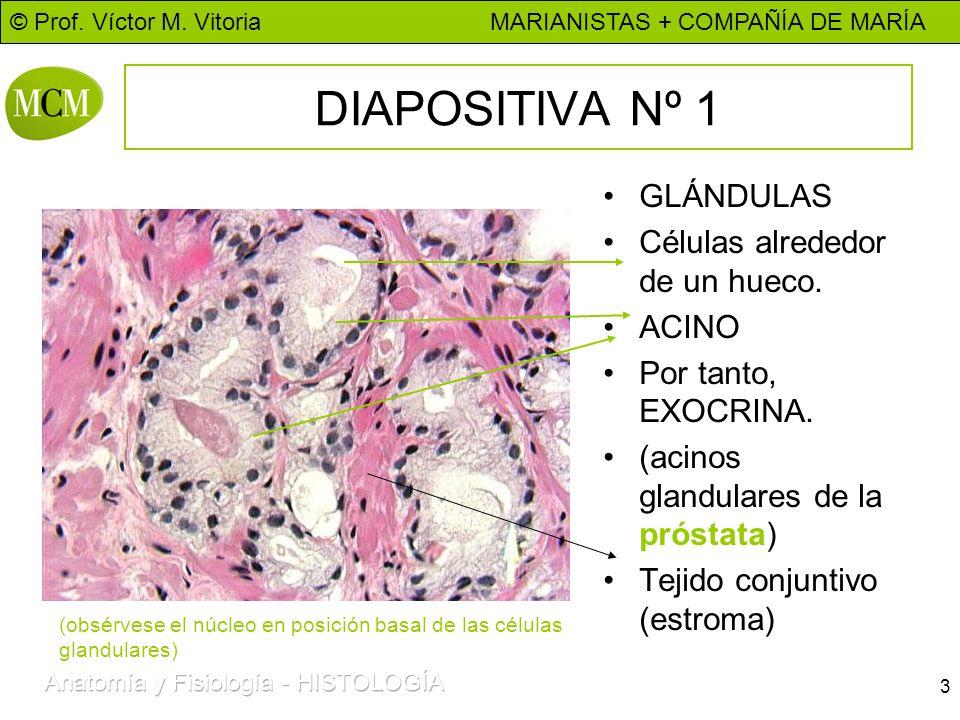 DIAPOSITIVA Nº 1 GLÁNDULAS Células alrededor de un hueco. ACINO