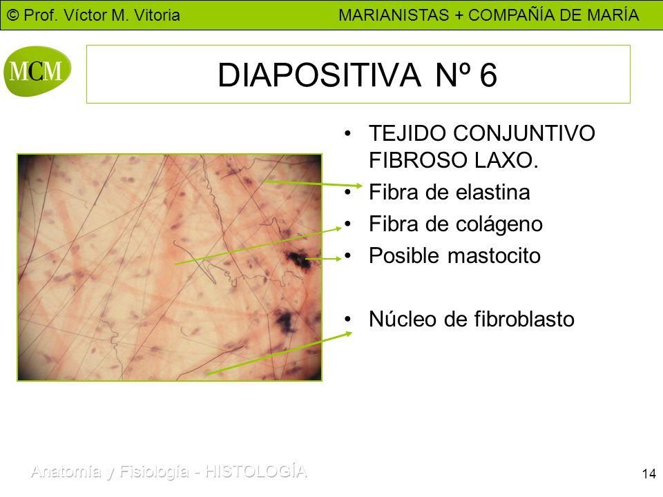 DIAPOSITIVA Nº 6 TEJIDO CONJUNTIVO FIBROSO LAXO. Fibra de elastina