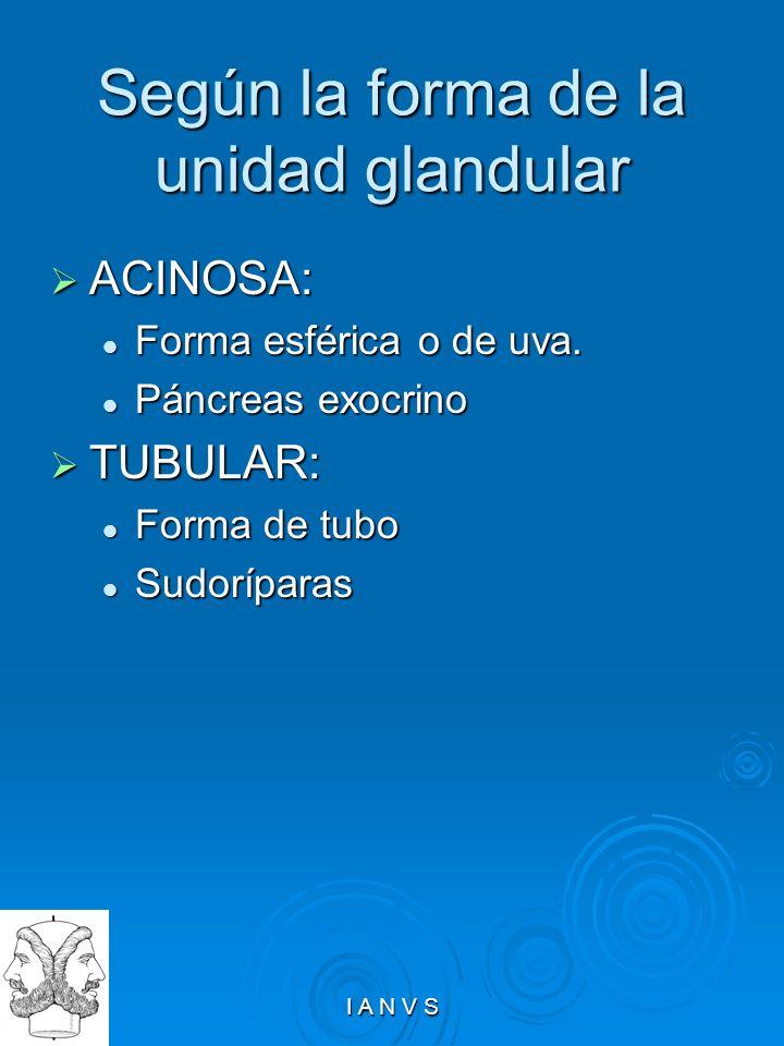 Según la forma de la unidad glandular