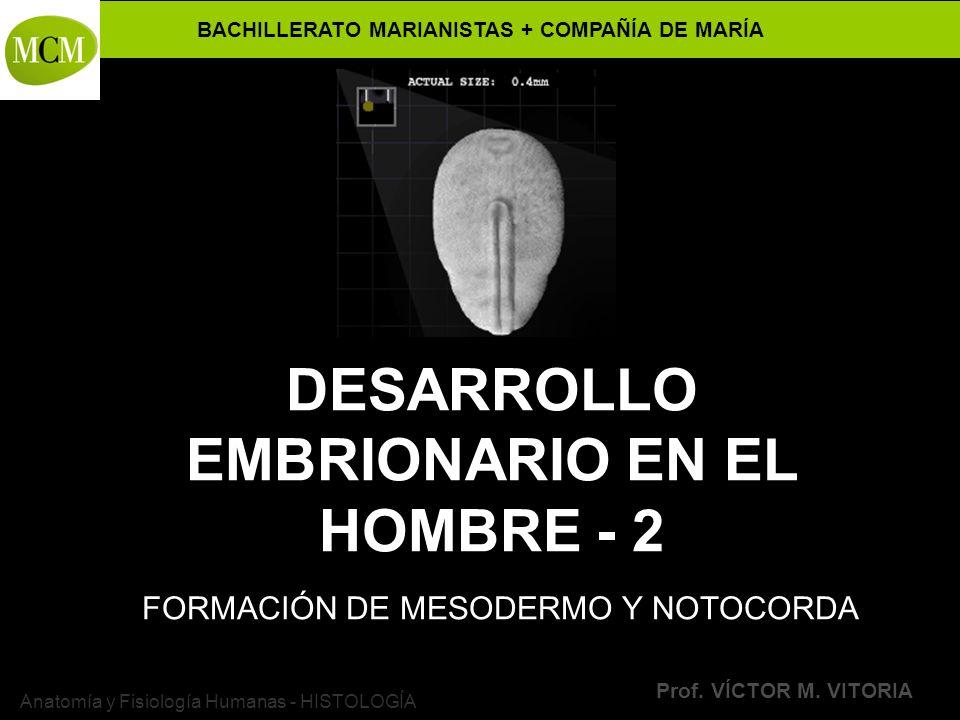 DESARROLLO EMBRIONARIO EN EL HOMBRE - 2