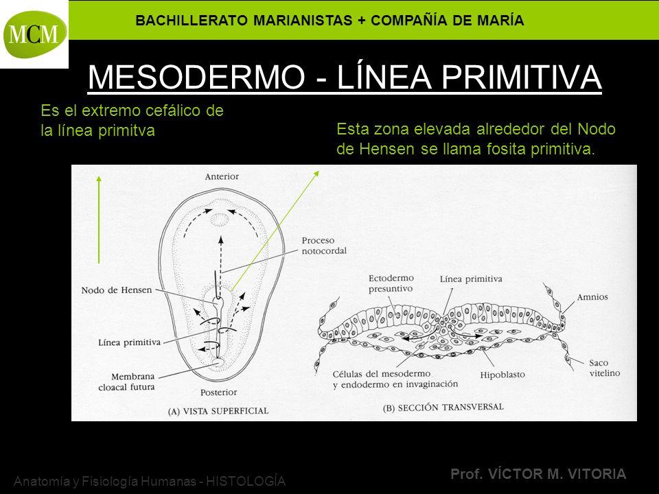 MESODERMO - LÍNEA PRIMITIVA