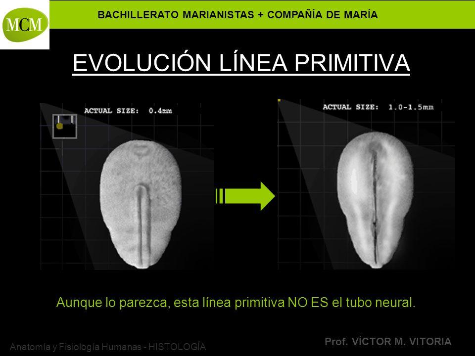 EVOLUCIÓN LÍNEA PRIMITIVA