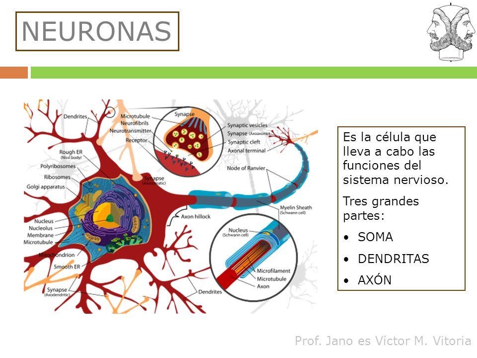 NEURONAS Es la célula que lleva a cabo las funciones del sistema nervioso. Tres grandes partes: SOMA.
