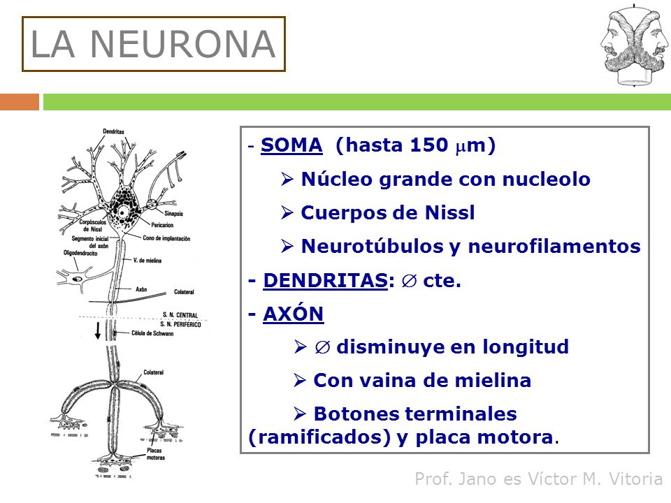 LA NEURONA - SOMA (hasta 150 mm)  Núcleo grande con nucleolo