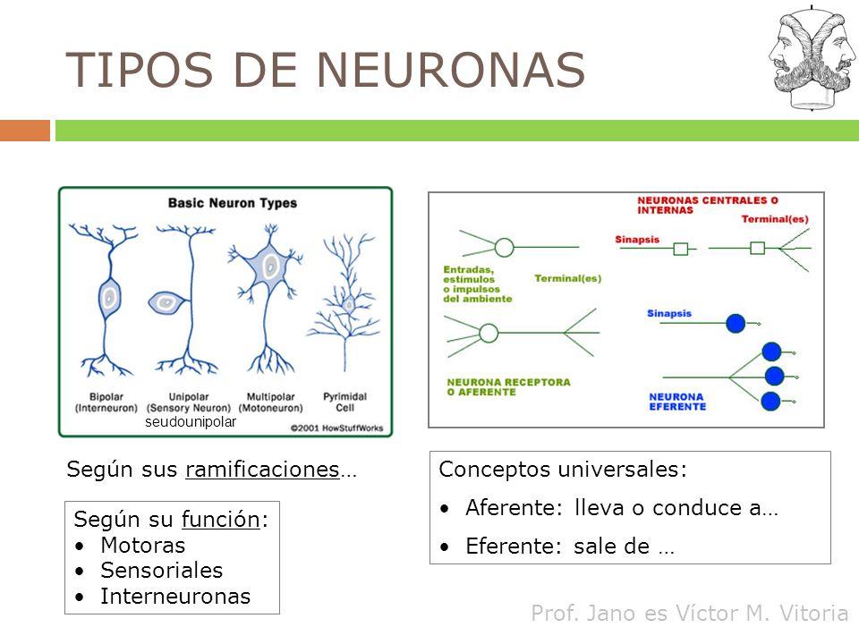 TIPOS DE NEURONAS Según sus ramificaciones… Conceptos universales: