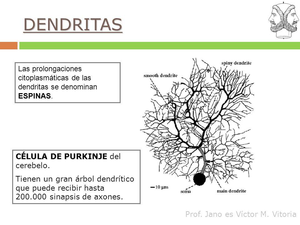 DENDRITAS Las prolongaciones citoplasmáticas de las dendritas se denominan ESPINAS. CÉLULA DE PURKINJE del cerebelo.
