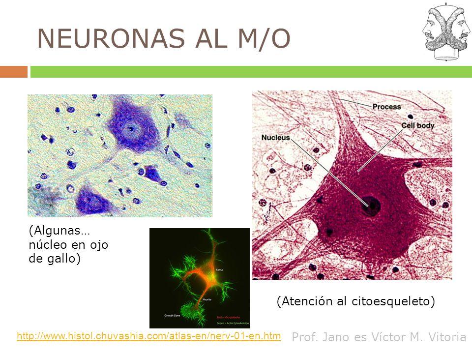 NEURONAS AL M/O (Algunas… núcleo en ojo de gallo)