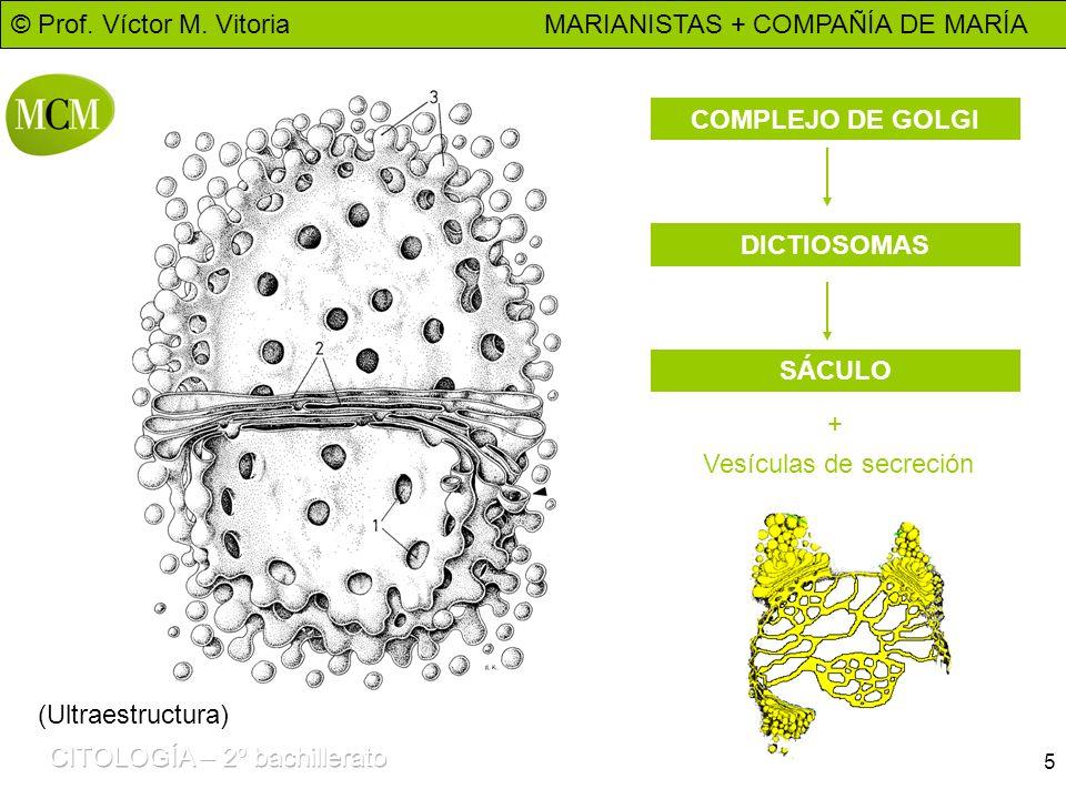 COMPLEJO DE GOLGI DICTIOSOMAS SÁCULO + Vesículas de secreción (Ultraestructura)