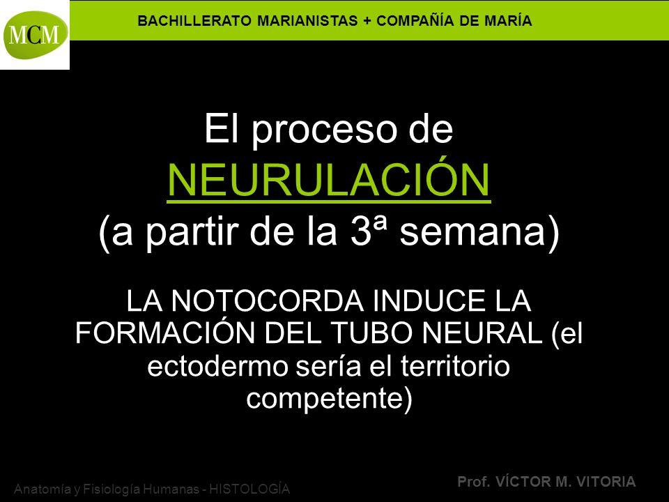 El proceso de NEURULACIÓN (a partir de la 3ª semana)