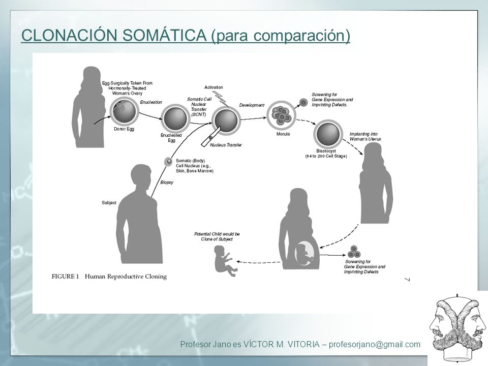 CLONACIÓN SOMÁTICA (para comparación)