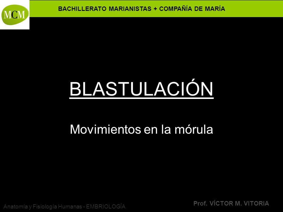 VÍCTOR M. VITORIA es PROFESOR JANO Movimientos en la mórula