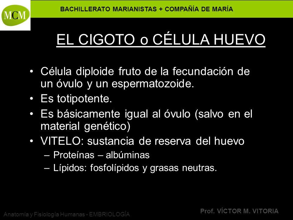EL CIGOTO o CÉLULA HUEVO