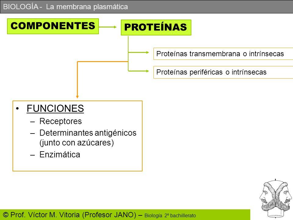COMPONENTES PROTEÍNAS FUNCIONES Receptores